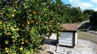 My citrus grove