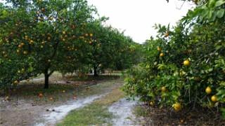 Citrus Orchard 001