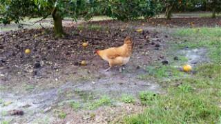 Rosemary the chicken