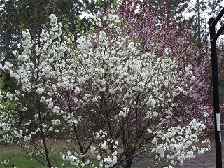 Terry Vuksanovic Spring In Manistee Sand Cherry And Cherry Trees